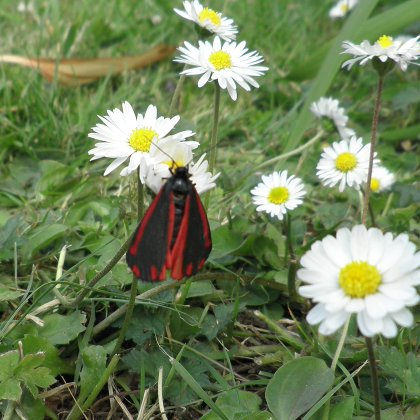 Tyria jacobaeae, the cinnabar moth