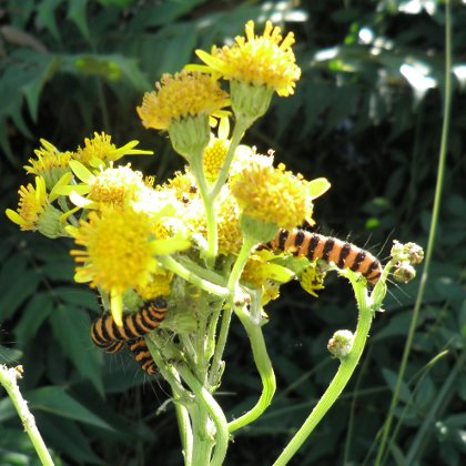 cinnabar caterpillars on ragwort, Tyria jacobaeae
