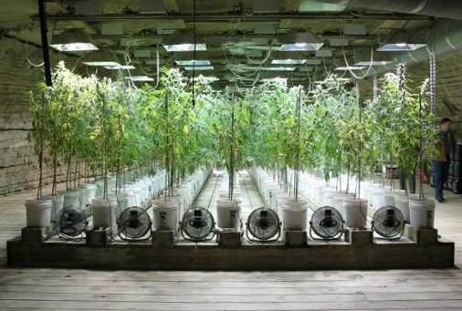Pansiiitt cultivo interior de marihuana for Cultivo interior marihuana