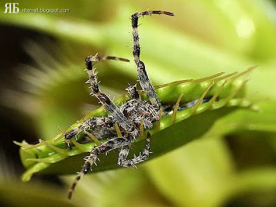 AMAZING INFO: PLANTS THAT EAT INSECTS...