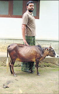 World's shortest cow photo, Kerala shortest cow picture, shortest cow in the world, World's smallest cow 2011, Guinness World Record by Suryaprakash, 2011 World's shortest cow, current World's shortest cow, recent smallest cow in the world, World's shortest cow images