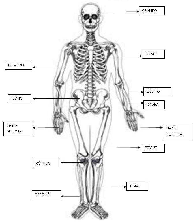 Excepcional La Imagen Del Esqueleto Con El Nombres De Los Huesos ...