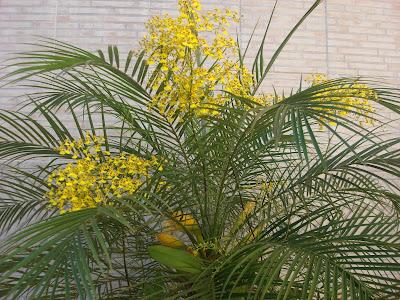 orquidea chuva de ouro ou oncidium