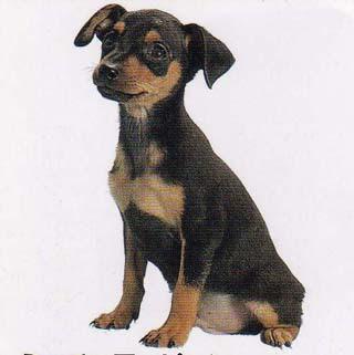 German Pinscher Top Dog