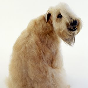 Photos of Soft Coated Wheaten Terrier Very Wonderful