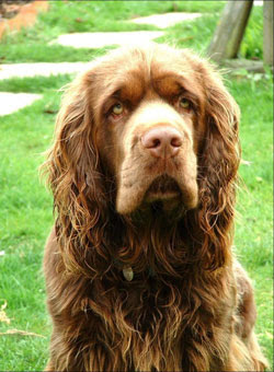 Sussex Spaniel Image
