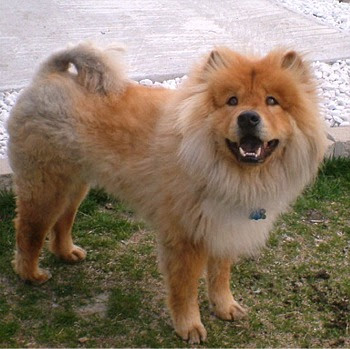 File Chow Chow Image