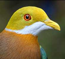 Ornate Fruit-Dove (2007)