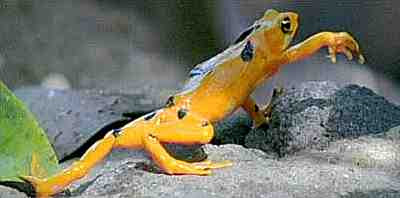 Male Golden Frog (Atelopus zeteki)