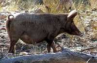 Aussie Feral Pig (Sus scrofa)