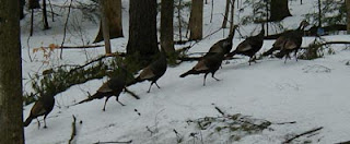 turkeys run