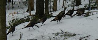 turkeys run
