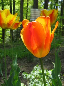 tulips in foreground