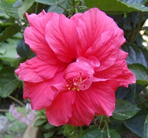 hibiscus front view