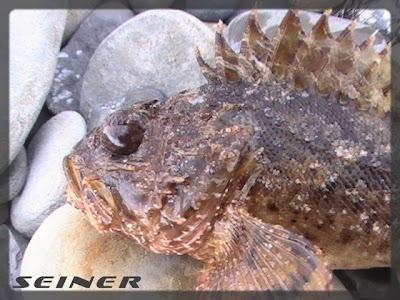 Морской ерш-скорпена