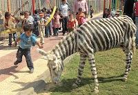 Zoo non può permettersi le zebre: si dipingono gli asini