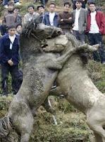 Cina: lotte tra cavalli, una crudeltà che sta diventando moda