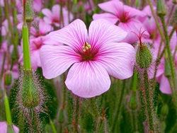 Exotic Heliotrope Flower