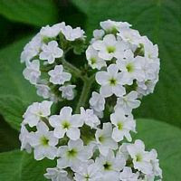 Beautiful Heliotrope Flower