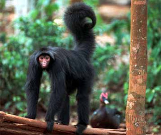 Pictures of Black Spider Monkey