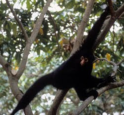 Funny Black Spider Monkey