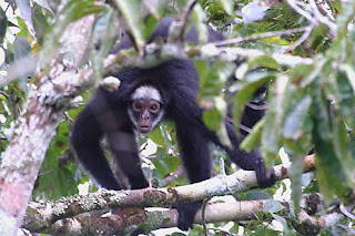 Black Spider Monkey Species