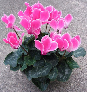 Amazing Pink Cyclamen Flower