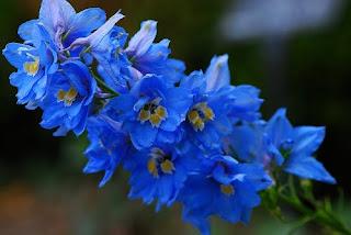 Beautiful Blue Delphinium Flower