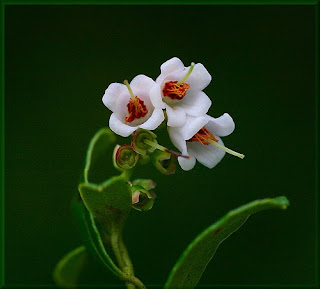 Beautiful Whortleberry Flower