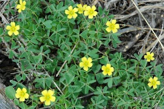 Wild Yellow Wood Sorrel