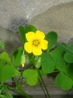 Bautiful Yellow Wood Sorrel