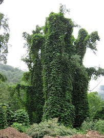 What is under this Kudzu?