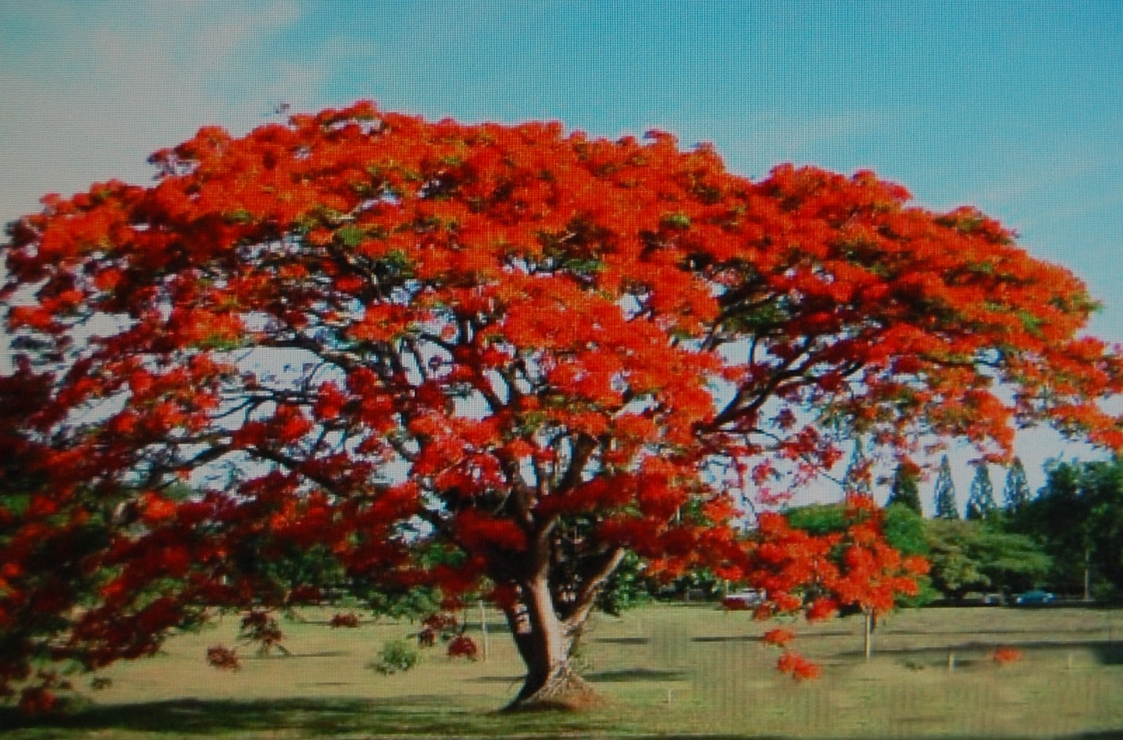 Arbol de fuego for Arbol del fuego jardin