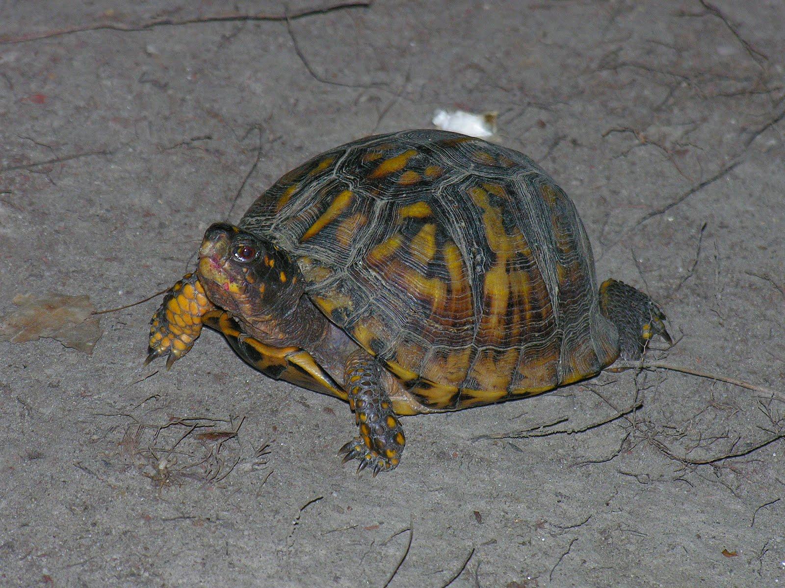 caementarius corner return of the backyard turtle