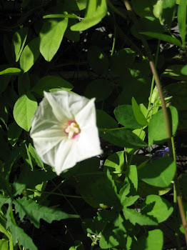 IPOMOEA OR MERREMIA AEGYPTIA?