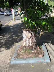 FICUS BENJAMINA KILLED BY STANGULATION