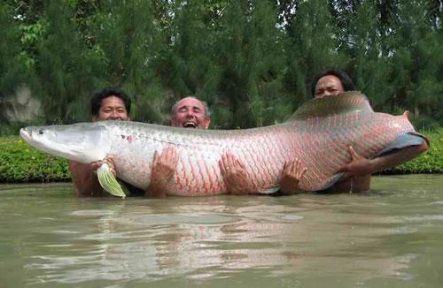 Diary addict arapaima the amazon 39 s giant fish for Fish of the amazon