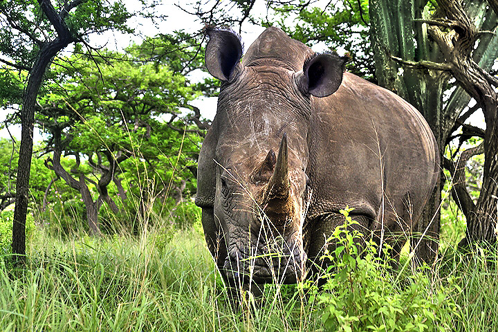 Afrika - Page 16 African+animals+pictures+white+rhinoceros