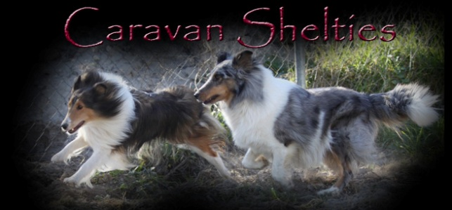 Caravan Shelties