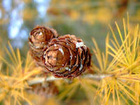 Japanese Larch cone