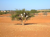 Goats tied in a tree to trap the tourists