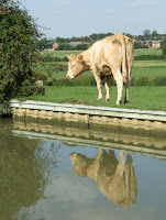 A cow reflecting on life