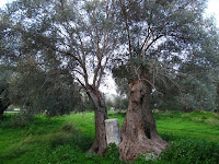 Olive tree at Gortys