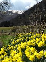 Daffodils beside Ullswater