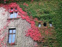Ivy on the wall of the Neues Schloss