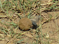 Dung beetle with ball of dung