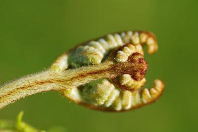 Bracken (Pteridium aquilinum)