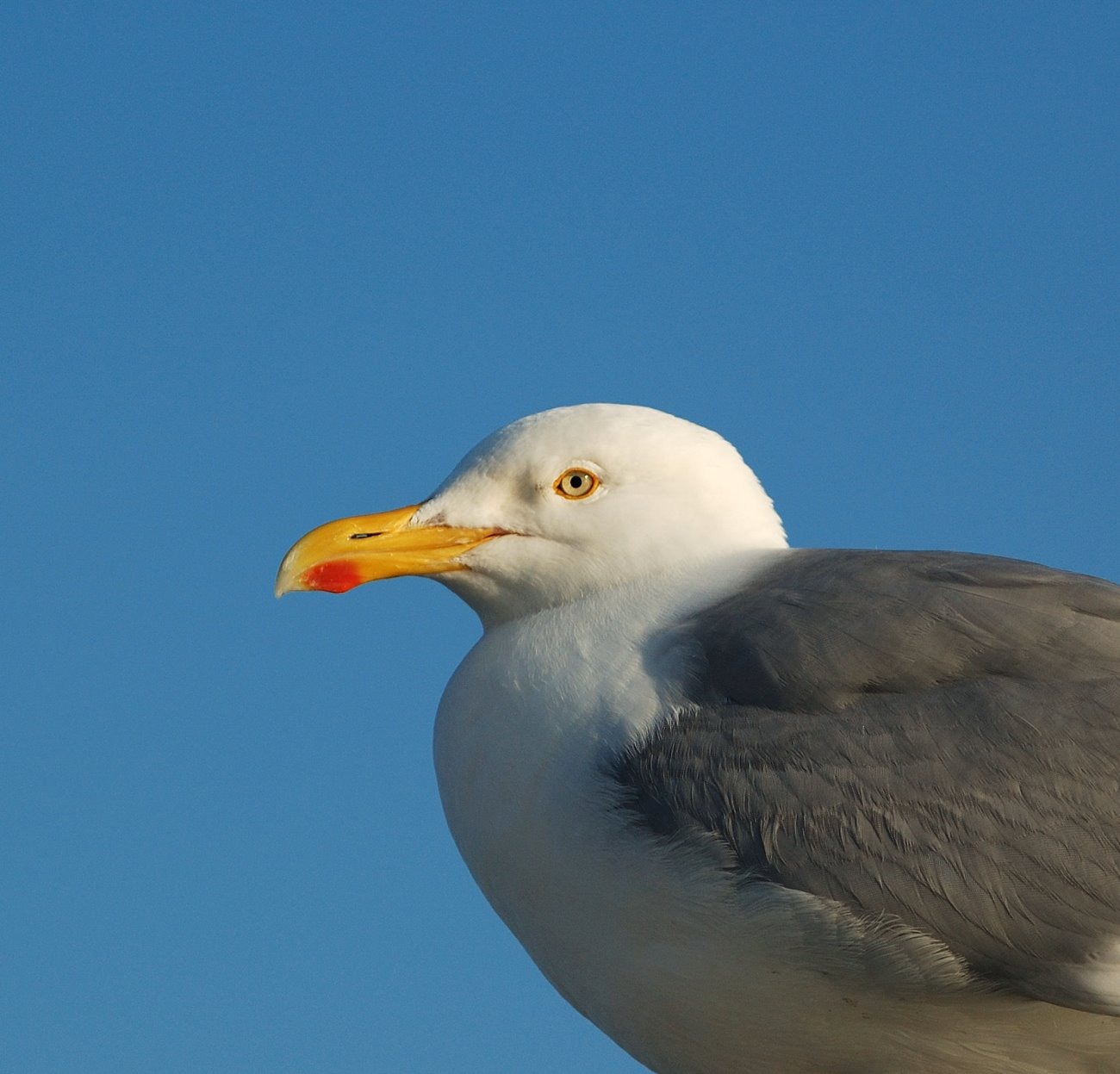Herring gull Larus argentatus head