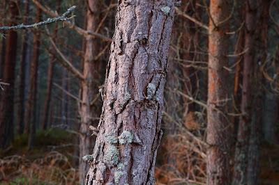 Scots Pine (Pinus sylvaticus)