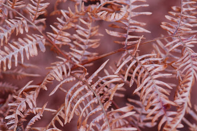 Bracken (Pteridium aquilum)